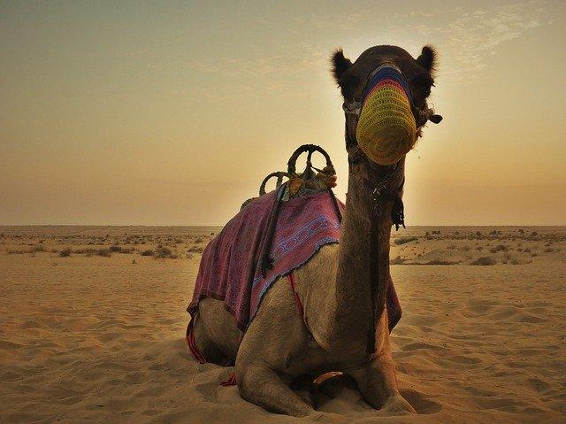camel-UAE-dubai
