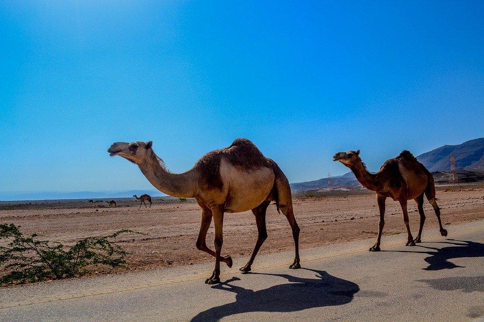 pic 1 camels