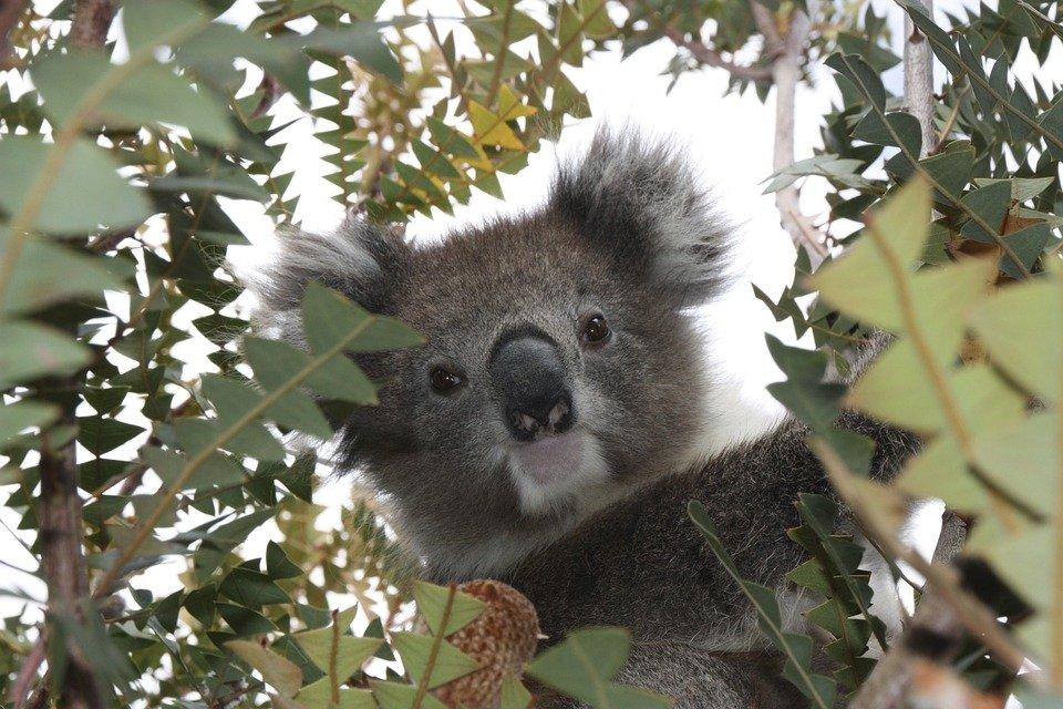 pic 1 koala