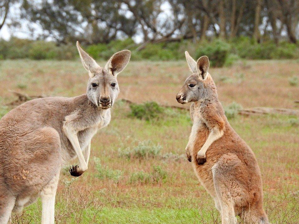 pic 4 kangaroo